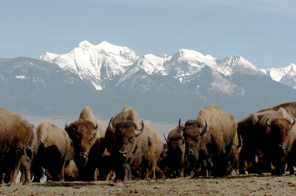 bison-herd-_usfws-cc-by-2_